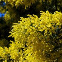 mimosa-infiorescenze-immagine-copertina