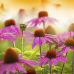 Echinacea: l'immunostimolante naturale