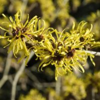 amamelide - ramo di Hamamelis virginiana