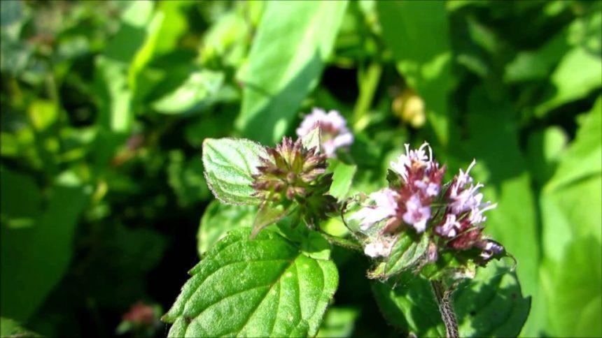 Foglie e fiori di menta piperita