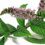 Menta - dettaglio foglie e fiori
