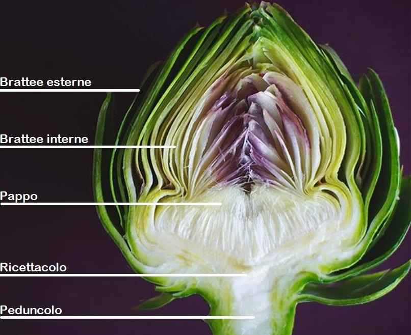 Carciofo - sezione della testa, con l'indicazione dei singoli componenti.