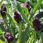 Carciofo violetto di Santo Erasmo - dettaglio delle teste di carciofo non ancora raccolte
