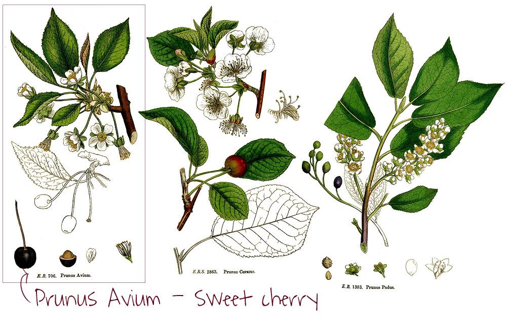 Ciliegie - stampe botaniche di ciliegio dolce, acido e a grappoli