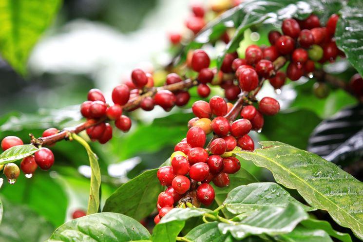 Caffè - pianta con ciliegie di caffè mature