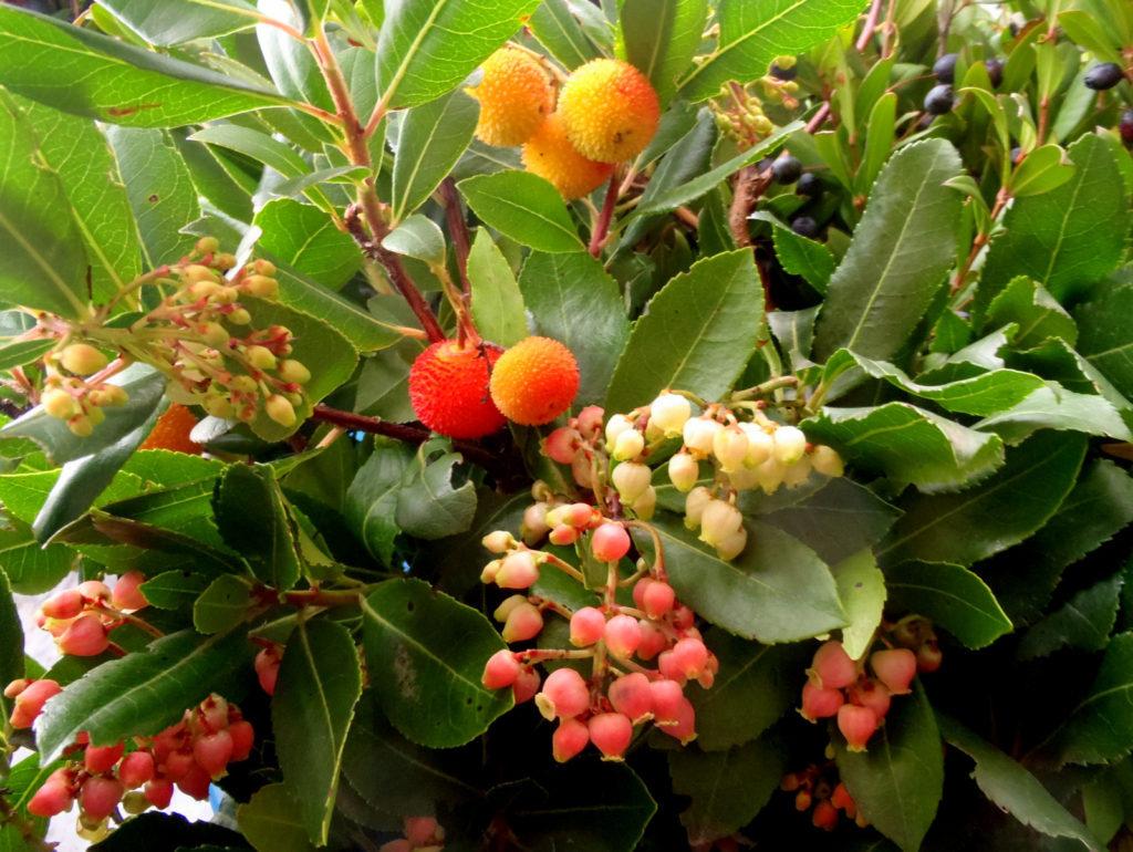 Corbezzolo - pianta con fiori e frutti maturi