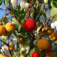 Bacche di corbezzolo - I frutti di Arbutus unedo (famiglia delle Ericaceae) chiamato anche albatro o corbezzolo